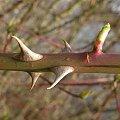 pzk #pzk #natura #przyroda #tapeta #wiosna #makro #kolce