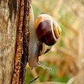 wstężyk ogrodowy #ślimak #mięczak #makro #WstężykOgrodowy