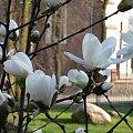Biała magnolia #drzewo #kwiat #magnolia #biel