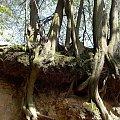 na lessowych zboczach wiszą odkryte korzenie drzew tworząc niesamowite kształty-Kazimierz Dolny #KazimierzDolny