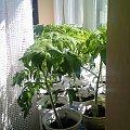 #pomidor #pomidory #sadzonki #ogródek #tunel