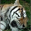#tygrys