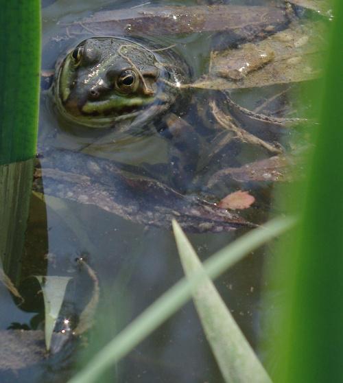 znajdź żabę ;) #żaba #żaby #płazy #bagna #jeziora #rzeki #wiosna #natura #przyroda