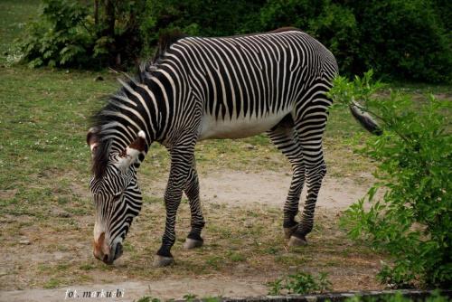 czy ona jest biała w czarne paski czy odwrotnie:))) #animals