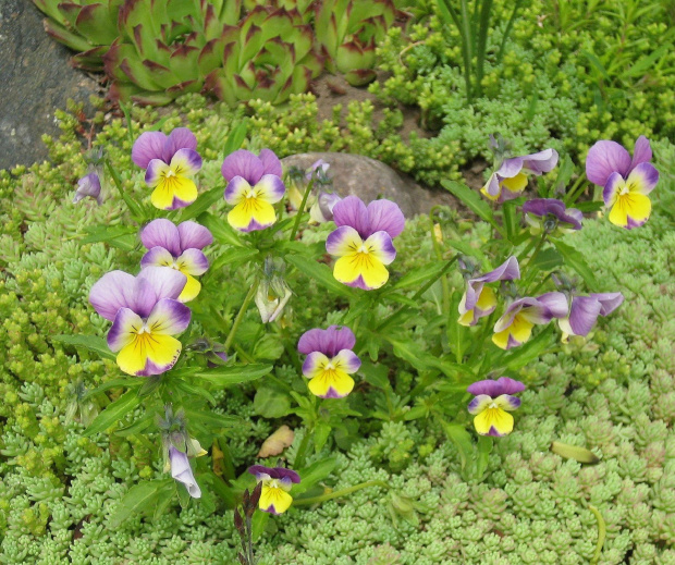 bratki 24.05.09 #ogród #kwiaty #bratki