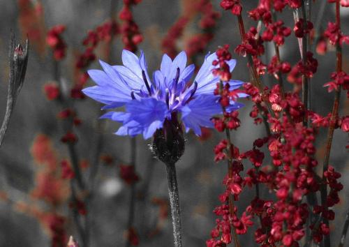 #kwiat #ChaberBławatek