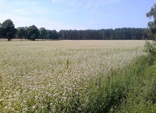 ''...gdzie byrsztynowy świerzop,gryka jak śnieg biała...'' #przyroda #gryka #Mickiewicz