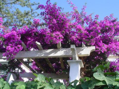 Bugenwilla #bugenwilla #krzew #ogrod