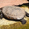 a to mój żółwik.. tuptuś #żółw #lato #gad