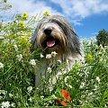 #PolskiOwczarekNizinny #PON #Parira #pies #dog