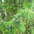 Jałowiec #kwiaty #rośliny #krzew #ogród