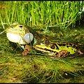 żabki #żaba #żabki #bagno