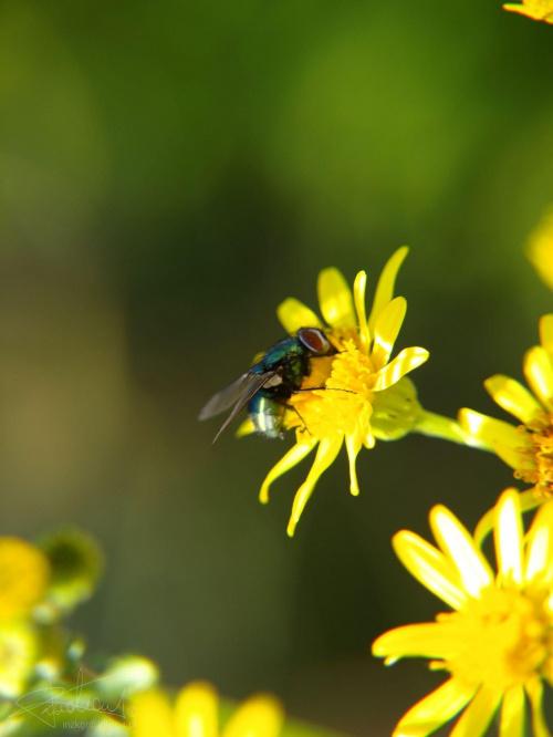 Mucha na kwiatku [Olympus E-410, Zuiko Digital 14-42, soczewka makro +8Dioptrii] #mucha #muszka #kwiat #kwiatek #owad #natura #roślina #makro