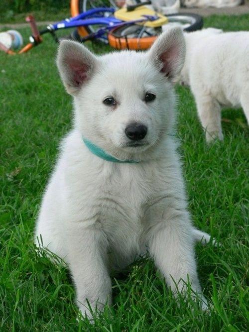 Hodowla Białego owczarka szwajcarskiego #BiałyOwczarekSzwajcarski #pies #psy #RasyPsów #HodowlePsów