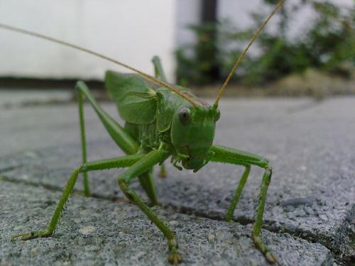 #zwierzęta #owady #KonikPolny