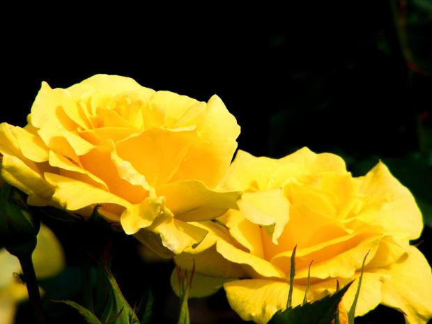 #roza #zolta #kwiaty