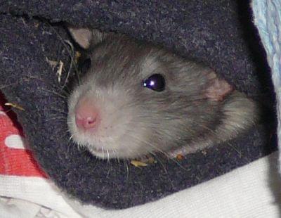 #szczury #szczurki #gryzonie #ogony #ogonki