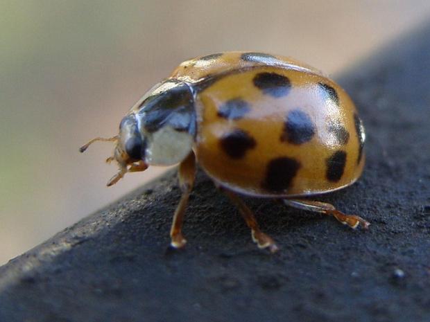 Szła sobie biedronka w deszczowy dzień;) #biedronka #macro #owad #kropki