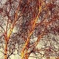 Brzoza o zachodzie słońca #drzewo #drzewa #brzoza #ZachódSłońca #grudzień