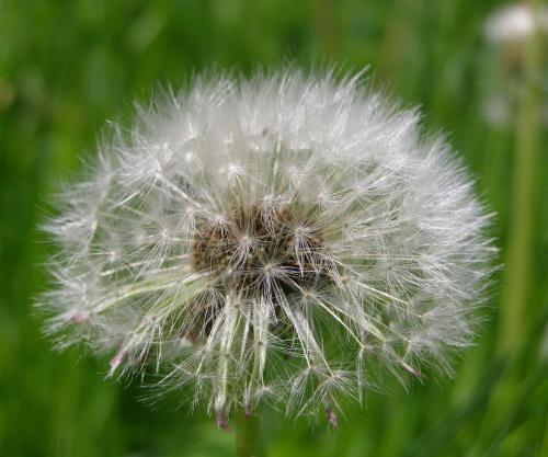 Dmuchawiec... #Dmuchawiec #mlecz #roślina #natura #kwiat