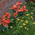wiosna po murem :D #flora #kwiaty #mniszek #tulipany #wiosna