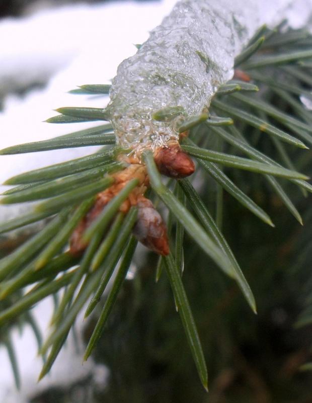 Zdjęcie konkursowe #przyroda #natura #rośliny #drzewa #las #lasy #śnieg #pączki