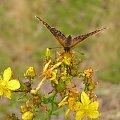 POLESIE - Sobiborski Park Krajobrazowy #motyl #Polesie #SobiborskiParkKrajobrazowy