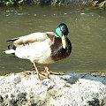 #natura #przyroda #zwierzęta #ptaki #kaczka #rzeka
