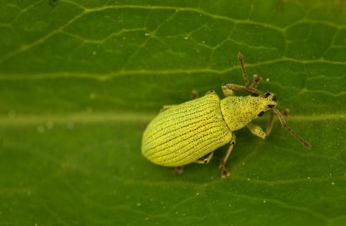 zielone na zielonym #chrząszcz #makro #owad #zielemń