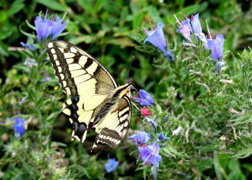 """Papilio machaon --czyli paź królowej z dedykacją dla """" kilomikezulu """" #łąka #kwiatki #motyl #natura"""