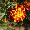 tylko turki ... #kwiat #turek #aksamitka #byczek #śmierdziuszek