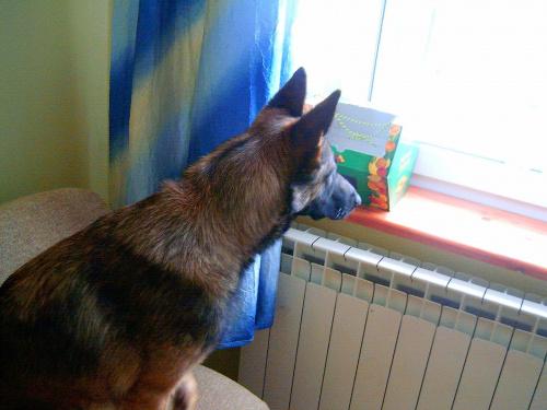 Melka. #melcia #melka #pies #piesek #dog #goggie #suczka #suka #obserwator #szpieg #ciekawosc #ciekawska #psiur #okno #parapet #obserwacje #CiekawskiPies #natra #zwierze #zwieże #zwieżę #łóżko #lozko #pokoj